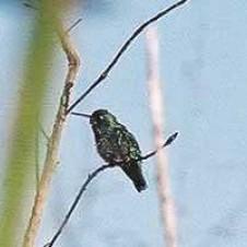 Besourinho-de-bico-vermelho