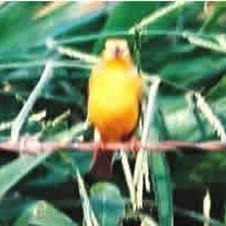 Canário-da-terra-verdadeiro