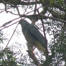 Gavião-pernilongo