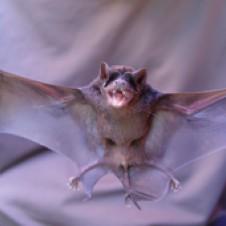 Morcego-cauda-de-rato