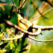 Pia-cobra
